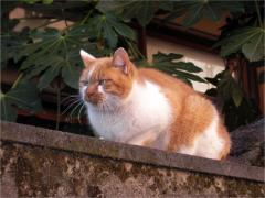 本郷のネコ